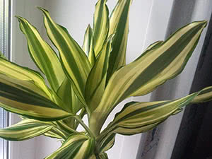 Рослина драцена в домашніх умовах