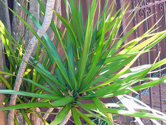 Драцена маргината, или драцена окаймленная (Dracaena marginata)