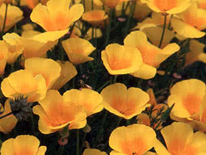 Цветы эшшольция