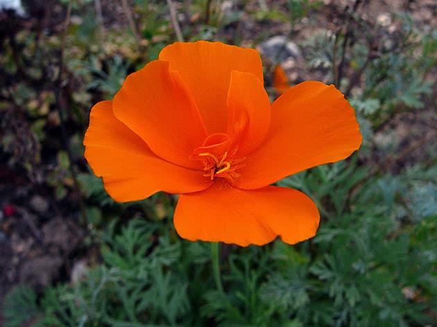 Цветок эшшольция
