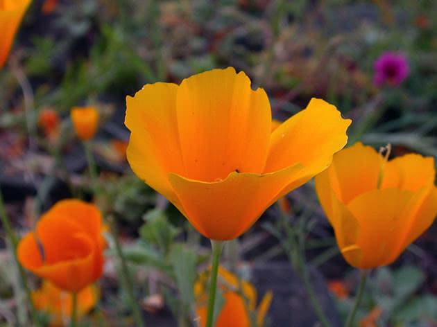 Квітка ешольція