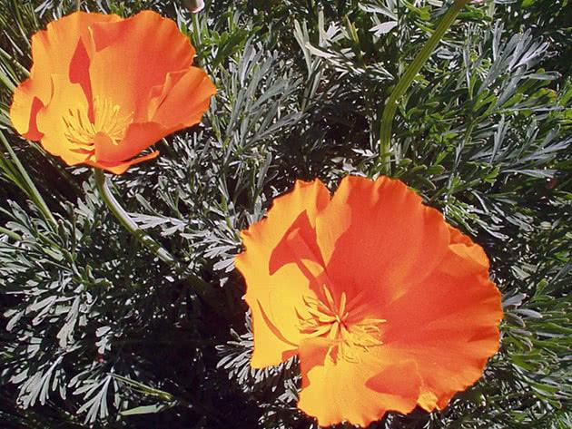 Квіти ешольція