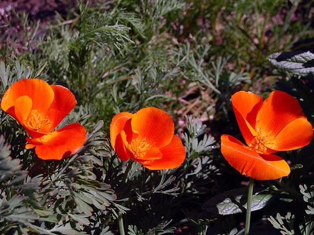 Эшшольция калифорнийская / Eschscholzia californica