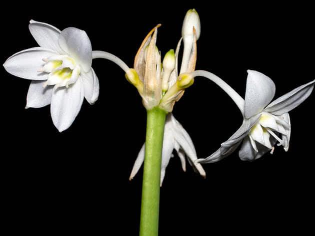 Растение эухарис