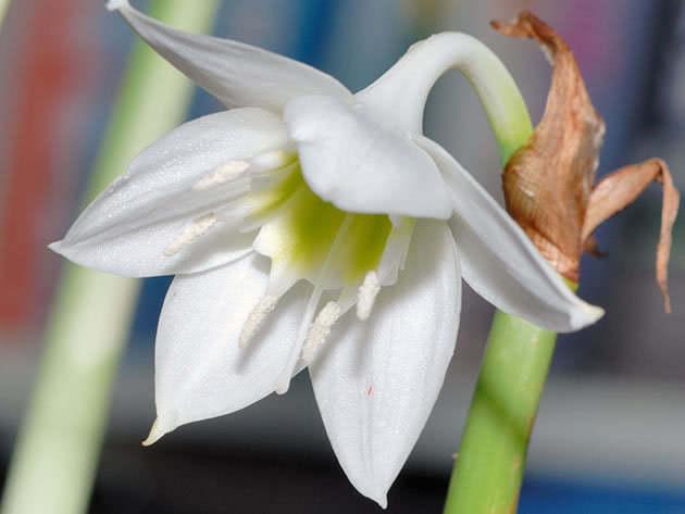 Квітка еухарис