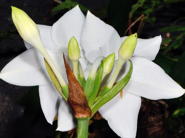Суцвіття еухариса