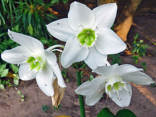 Эухарис крупноцветковый / Eucharis grandiflora