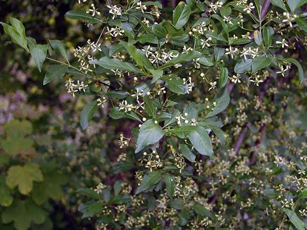 Бересклет европейский / Euonymus europaea