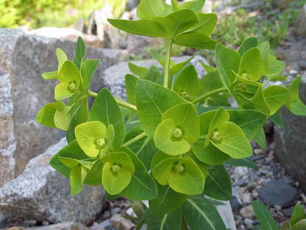 Молочай Палласа или Фишера или мужик-корень (Euphorbia fischeriana)
