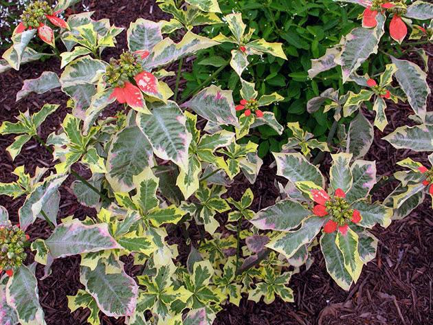 Молочай разнолистный (Euphorbia heterophylla)