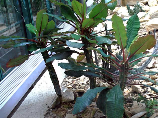 Молочай беложилковый или беложильчатый(Euphorbia leuconeura)