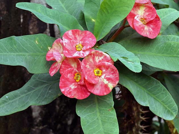 Молочай Миля или блестящий (Euphorbia Milii)