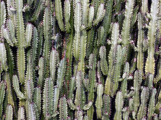 Молочай треугольный или трехгранный или ребристый (Euphorbia trigona)