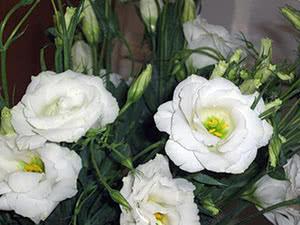 Квітка еустома