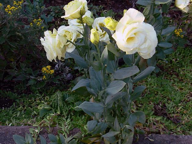 Еустома садова крупноквіткова