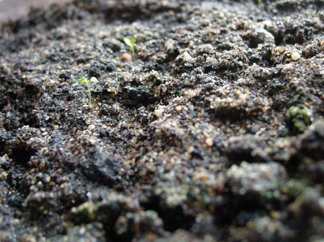 Вирощування еустоми з насіння