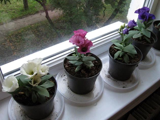 Цвітіння домашньої еустоми