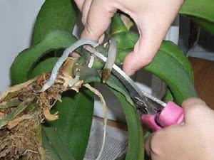 Подкормка фаленопсиса