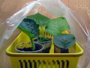 Розмноження фіалок насінням