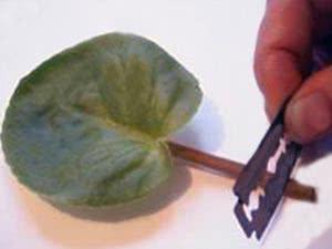 Розмноження фіалок квітконосом