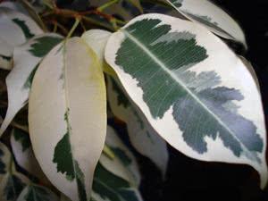 Фикус бенджамина – опадают листья. Почему