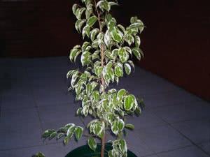 Почему у фикуса Бенджамина опадают листья. Причины