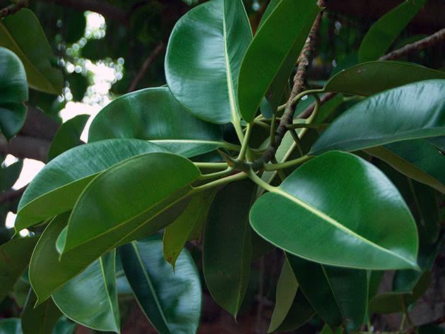 Рослина фікус каучуконосний