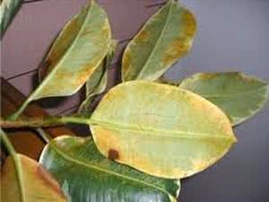 Фікус Бенджаміна жовтіє листя