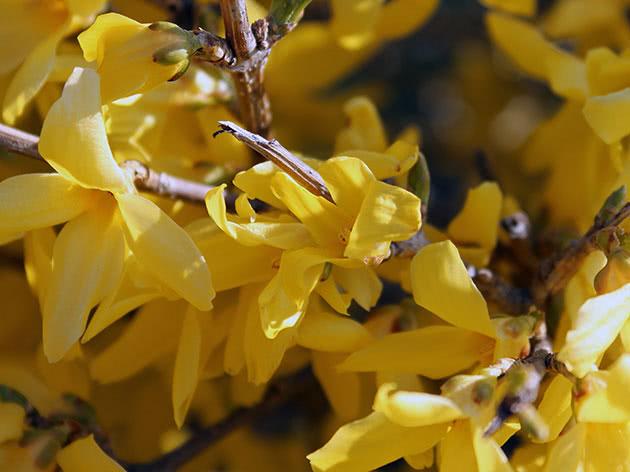 Квіти форзиції