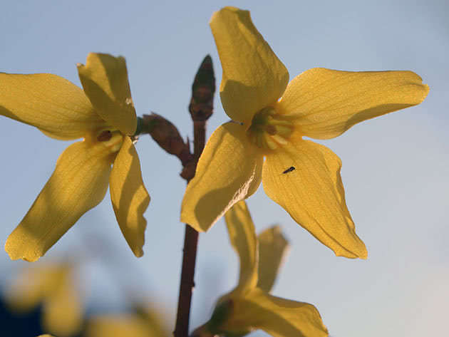 Квітка форзиції