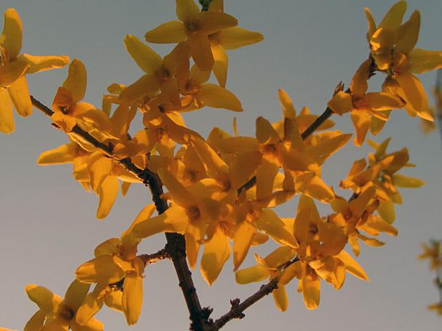 Квітка форзиція