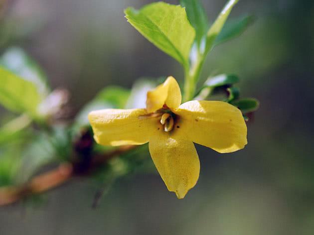Квітка форзиції або форсайтії