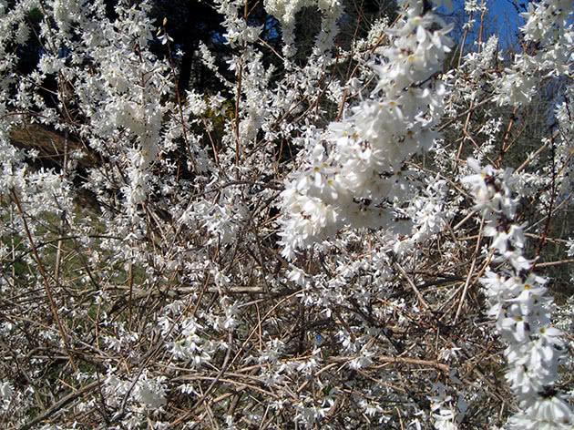 Форзиція сніжна, або біла / Forsythia abeliophyllum