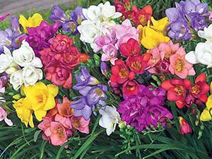 Цветок Фрезия (Фреезия)