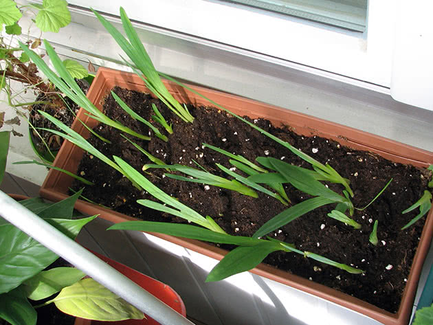 Requirements for freesia growing