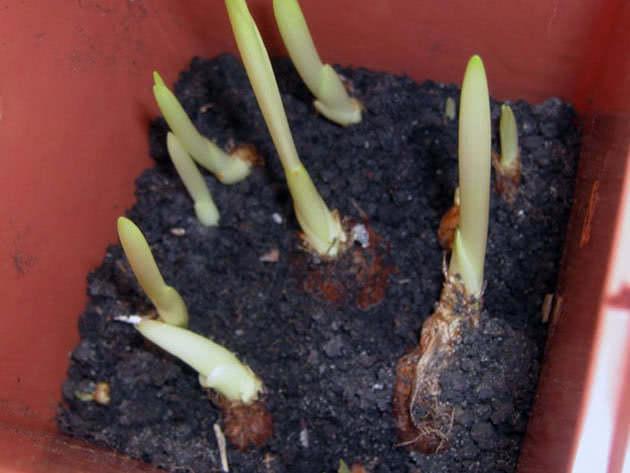 Cultivation of freesia bulbs