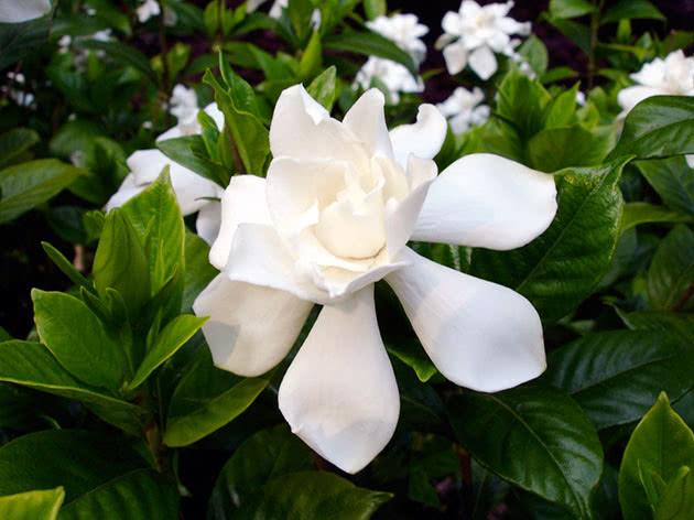 Квітка гарденія