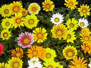 Квітка гацанія (газанія)