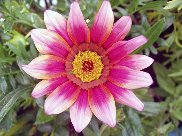 Квітка гацанії