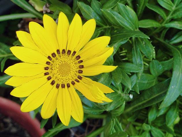 Желтый цветок гацания