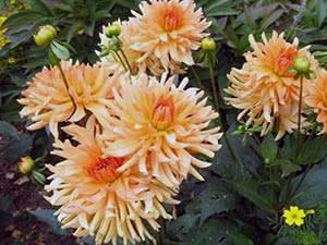 Жоржина кактусова