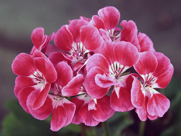Соцветие герани (пеларгонии)