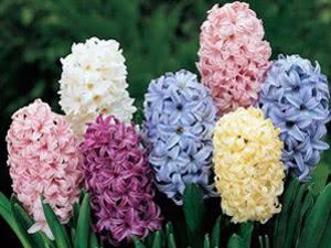 Квіти Гіацинти