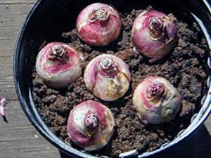 Гиацинты – уход весной, летом и осенью