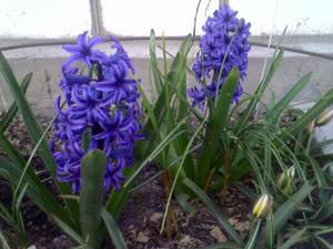 Гиацинты после цветения