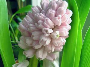 Что делать с цветоносом гиацинта после цветения