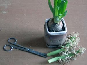 Что делать с листьями гиацинта после цветения