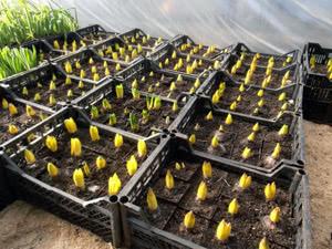 Вирощування гіацинтів в саду