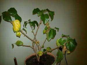 Пожовтіння листя Гібіскусу
