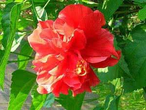 Гібіскус китайський або Китайська Роза